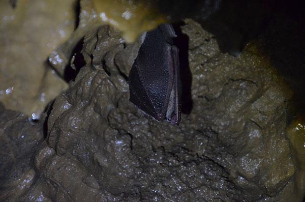 Grotte de Comblain - Hibernation des chauves-souris